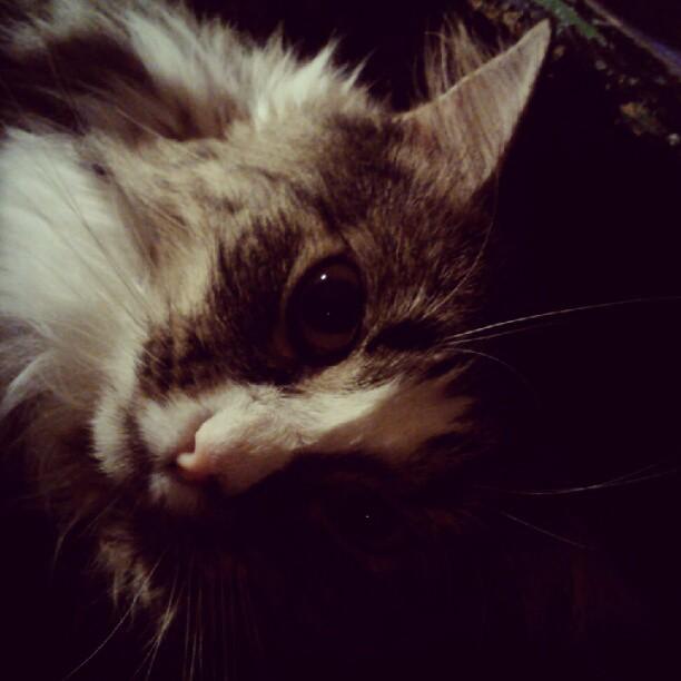 Foxy #cat