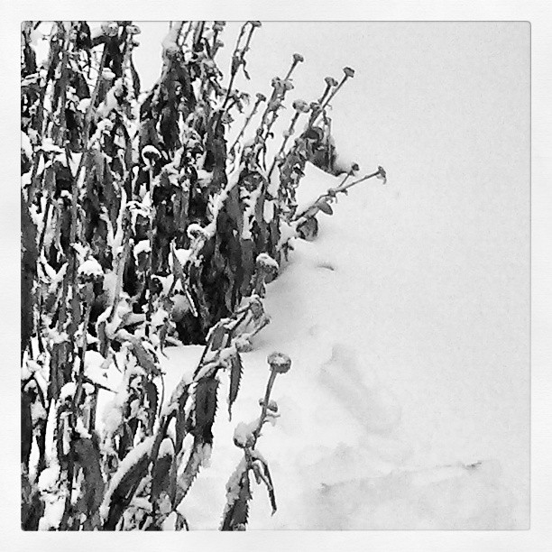 Dried daisy #winter #garden #daisy #blackandwhite