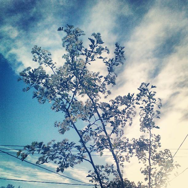 Blooms on Moms tree #love #rip #serviceberry #denverdigs