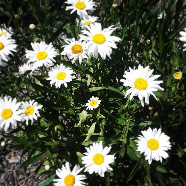 Daisy #garden #denver #aftertherain #sunshine