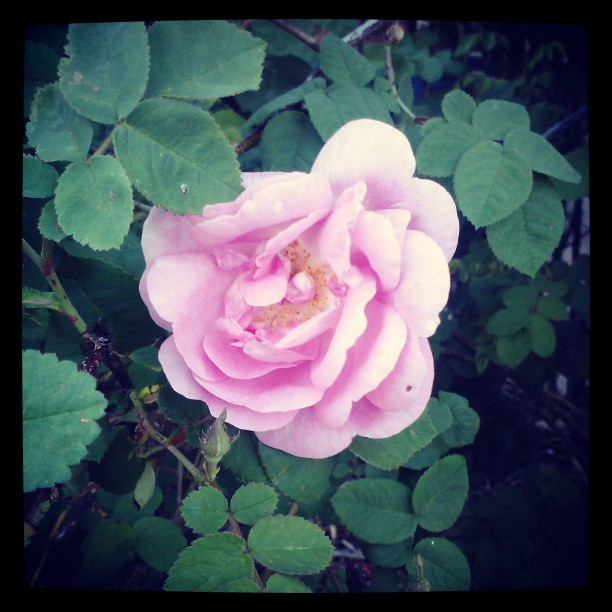 Pink #rose #garden