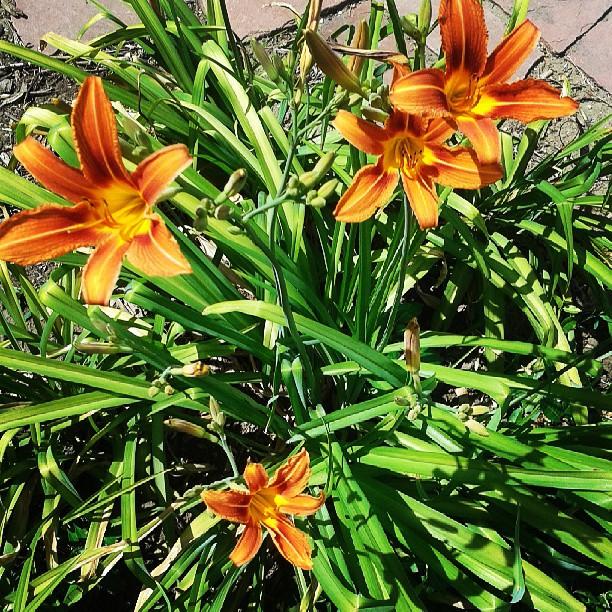 First blooms #summer #garden #denver