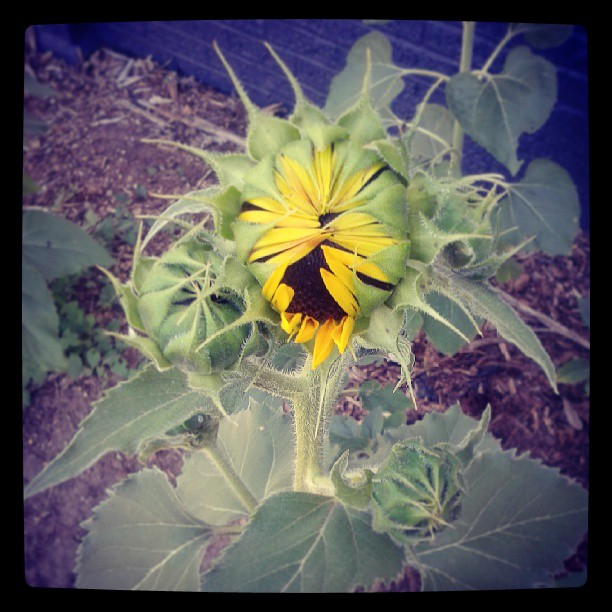 Opening #sunflower #garden #denver #sunshine #summer #jwdenverart