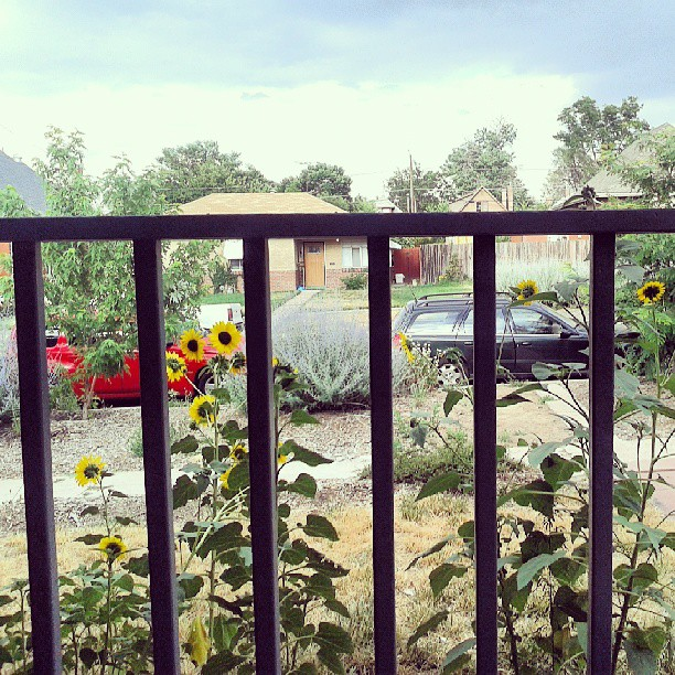 Sunflower screen #sunflower #porch #screen #garden #denver #beautifulday