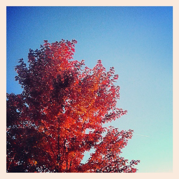 Sunset Maple #tree #Denver #fall