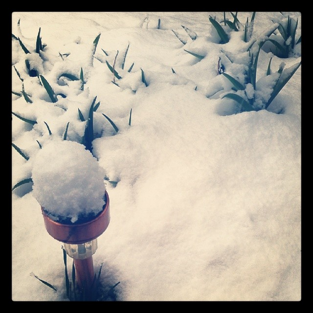 Spring in Colorado #snow #Denver #garden