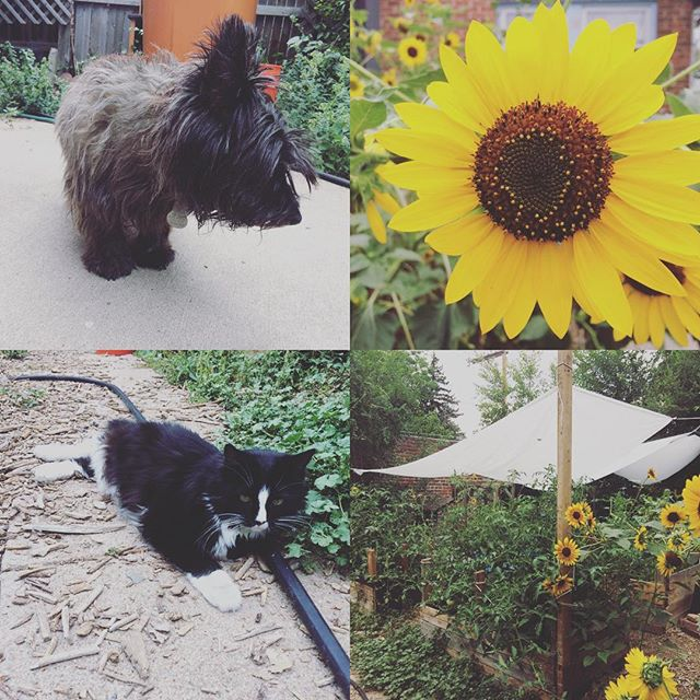 Summer in the garden #denver #garden #sunflower #cairnterrier #cat
