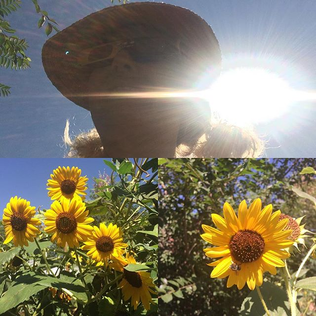 Eclipse watching with the bees #denver #eclipse #garden #sunflower #bees
