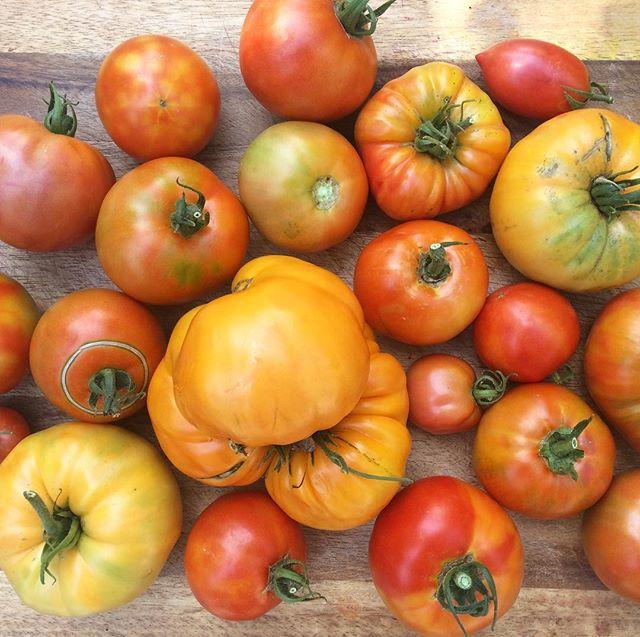Today's tomato harvest #roma #kelloggbreakfasttomato #celebritytomatoes #wslf #vegangarden