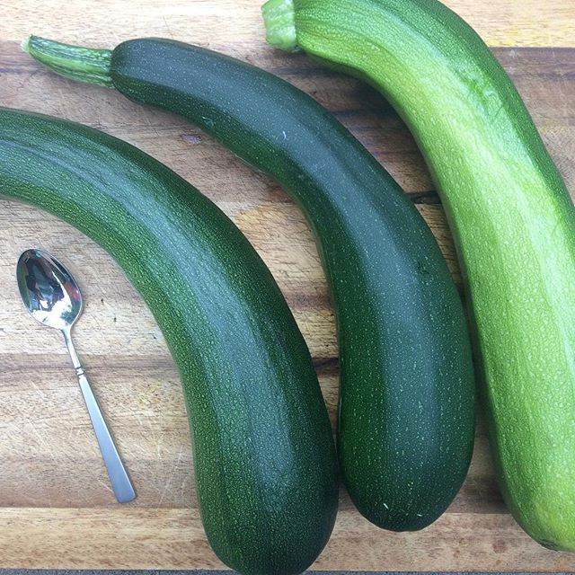 The zucchini is out of control teaspoon for scale #denver #garden #vegan #colorado #wslf #ratatouille