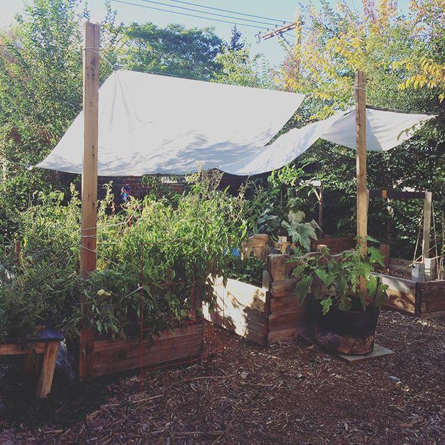 The garden in October #colorado #harvest #snow #garden #tomatoes
