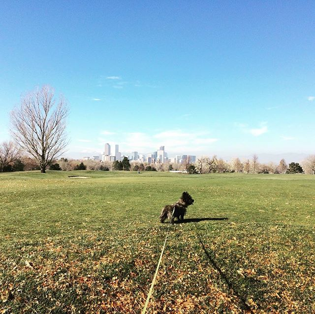 Ozzie on the green #golfcourse closed for renovations best view of #Denver skyline